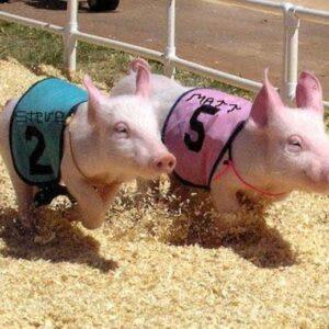 pig race image
